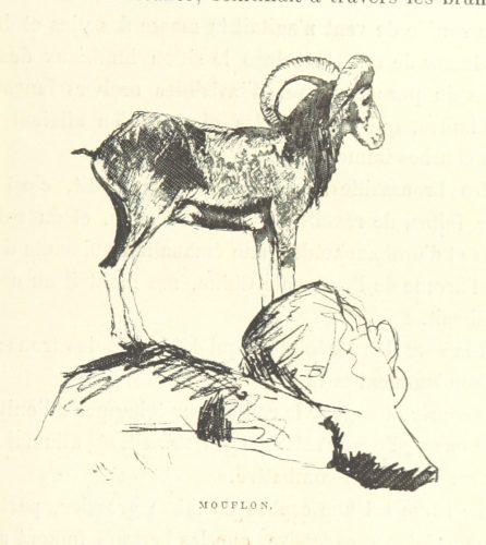 mouflon_o